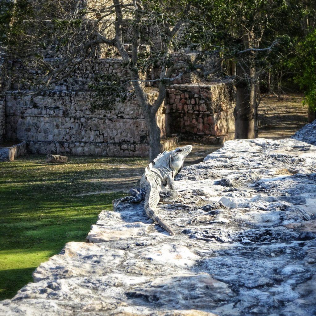 Iguanas live in the Mayan ruins at Edzna