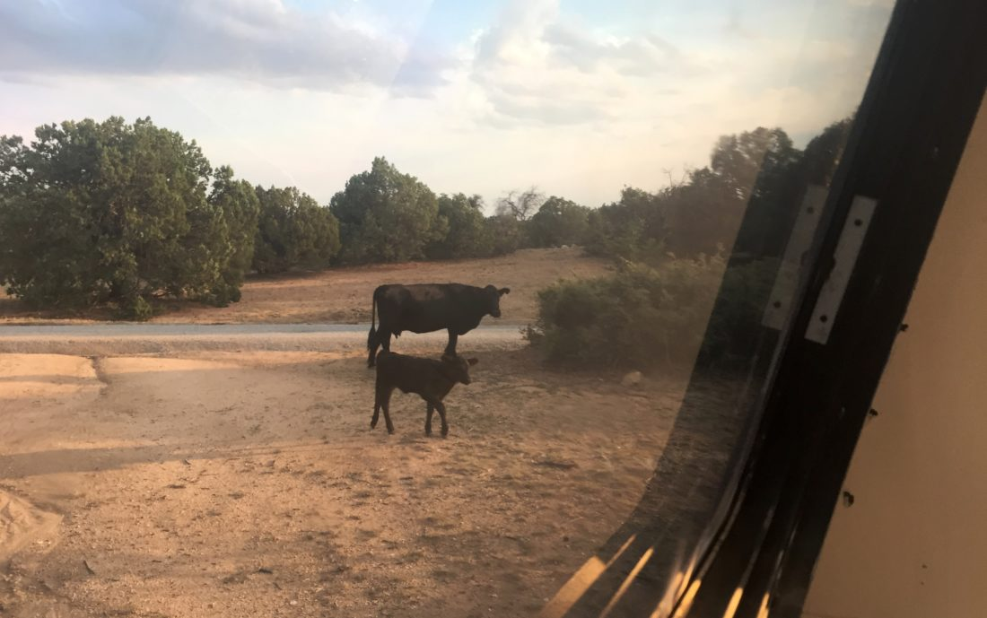 Cows! The visitors while boondocking Cattlemen Trail